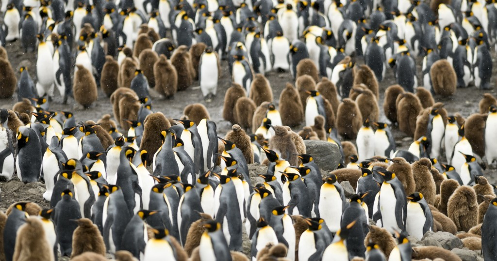 A close-up of a crowd of adult and young King Penguins - South Georgia.